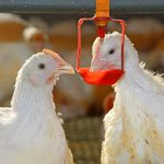 chicken-drinking-water treatment