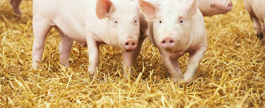 drinking-water-treatment-for-pigs
