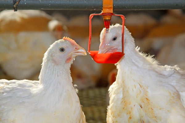 chicken-drinking--water-treatment-for-poultry